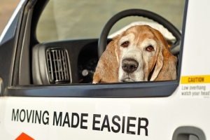 Hound in moving van